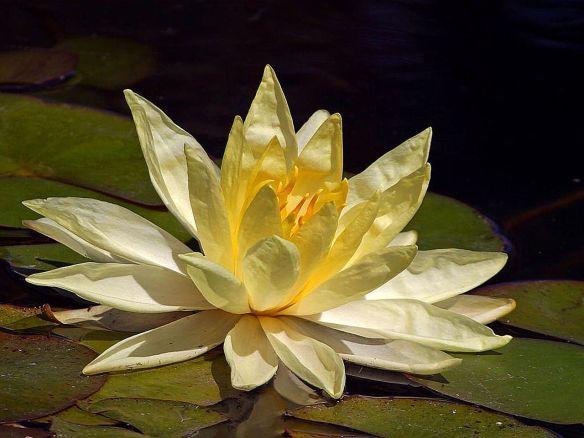 Lotus_yellow_flower